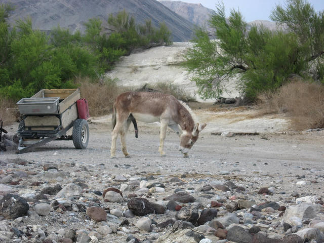 Wild donkey next to springs (Lower Saline)